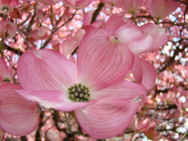 Pink American Dogwood Flowers WTL