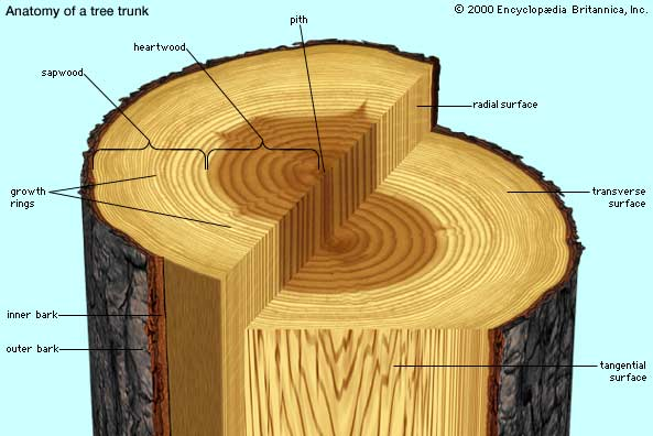 Anatomy of a Tree Trunk Westchester Tree Life - Westchester Tree Life